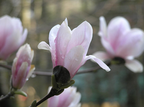 Beautiful Spring Magnolia Flowers