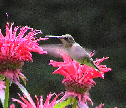 Female Ruby Throated Hummingbird in New Hampshire, USA, Enjoying Red Bee Balm Flowers! A Wonderful Nature Scene in Our Own Back Yard!