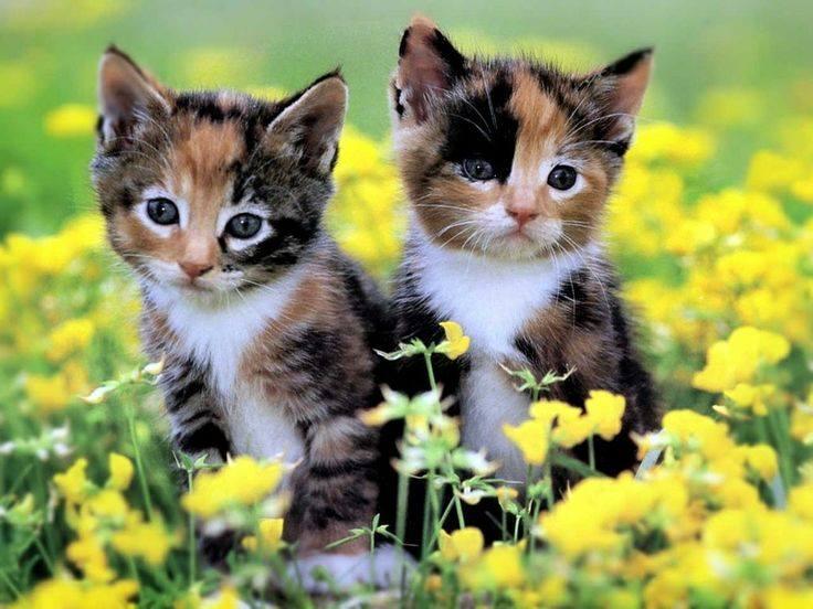 .. Kittens Calico