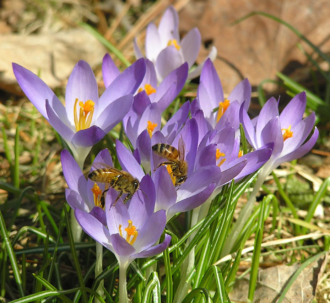 A First Sign of Spring! Beautiful Crocuses! And Look Who Has Found Them! Let's Make Some Honey and Celebrate! Those Cool Windchimes Will Be Out Soon!